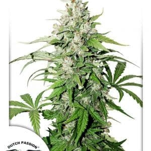 Auto Cinderella Jack Dutch Passion1