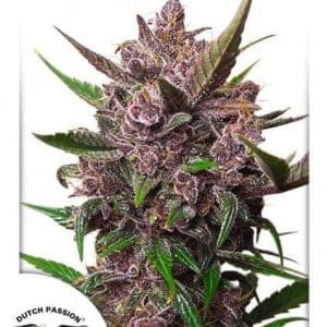 Auto Blackberry Kush®