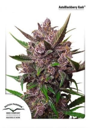 AutoBlackberry Kush Dutch Passion2011