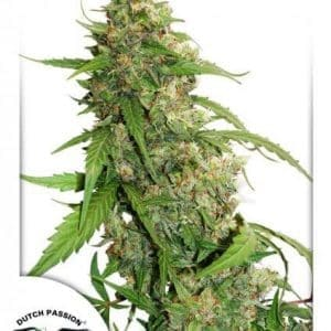 CBD Auto Compassion Lime Dutch Passion1