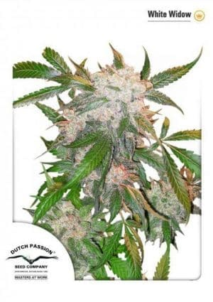 White Widow Dutch Passion1
