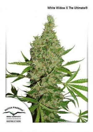 White Widow The Ultimate Dutch Passion1