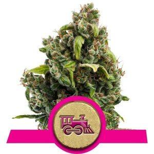 Candy Kush Express (Fast Flowering)