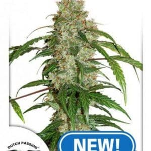 CBD Auto White Widow®