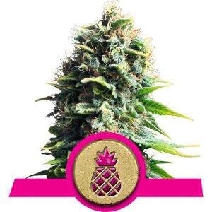 pineapple-kush[1]