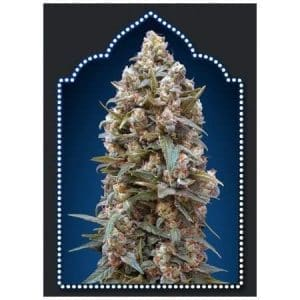 00-kush-00-seeds-bank