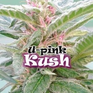 65-thickbox_default-u-pink-kush[1]