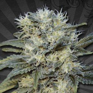 Auto Chemdog nasiona marihuany