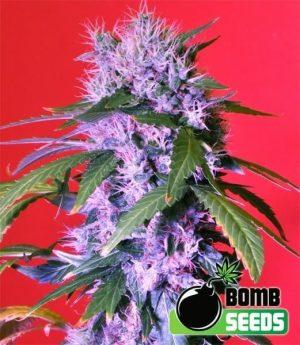 Berry Bomb Auto1