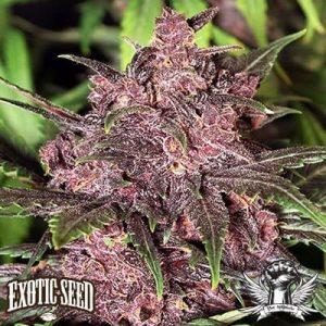 Black Haze Auto Exotic Seed1
