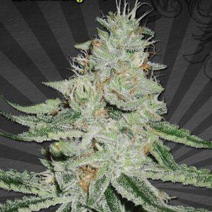 Dreamberry auto seeds1