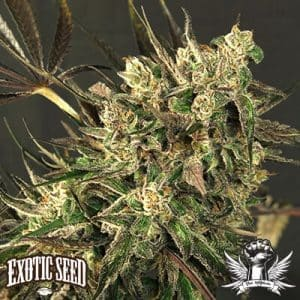 Exotic Colours Exotic Seed1