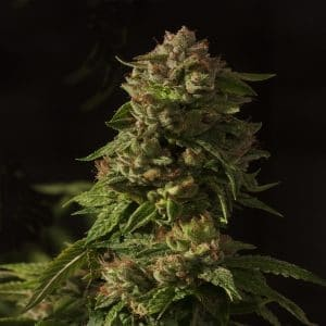 Fallen Angel Feminized Cannabis Seeds