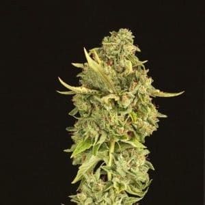 Hells-Bells-Regular-Cannabis-Seeds[1]