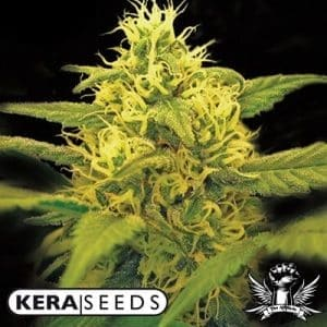 Kera-Seeds-Dutch-Passion[1]