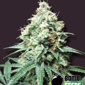 Kush Bomb1