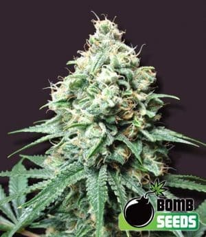 Kush Bomb Regular