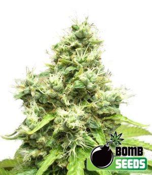 Medi Bomb 11