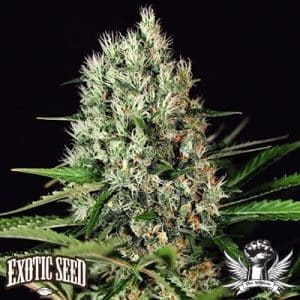 Quick Mass Exotic Seed1