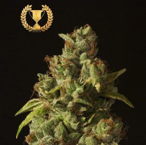 Rollex OG Kush by The Devils Harvest Seeds1