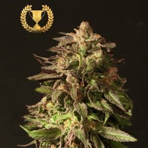 Shoreline-Feminized-by-The-Devils-Harvest-Seeds[1]