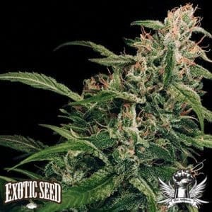Spicy Bitch Exotic Seed1