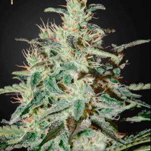 White Lemon1
