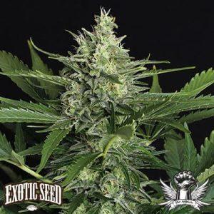 attitude seedbank exotic seed green gummy auto1