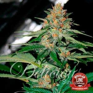 cheese-candy_1_3_1[1]