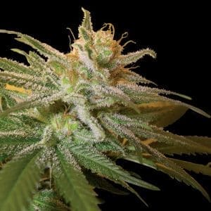 dna genetics kushberry1