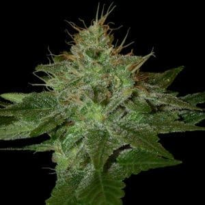 dna genetics pure afghan1