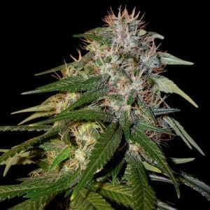 dna genetics sour cream1