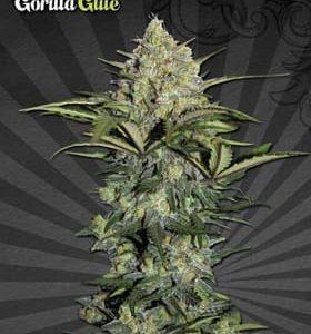 gorilla glue auto nasiona marihuany