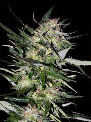 jack plant 1b1