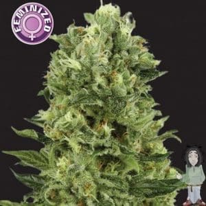 kera white thunder feminised seeds 5001
