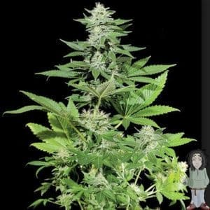 kera-white-widow-feminised-seeds_500[1]