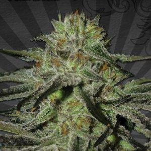 kush-doctor-autoflowering-seeds[1]