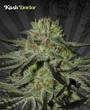 kush doctor autoflowering seeds1