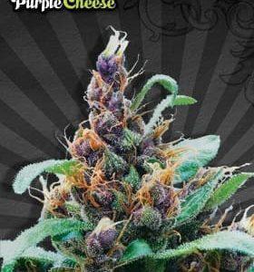 purple-cheese[1]