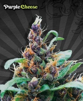 purple cheese1