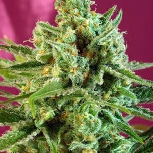 sad-sweet-afgani-delicious-cbd[1]