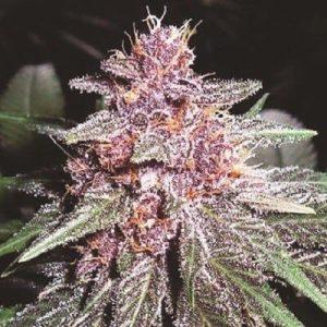 violeta 31