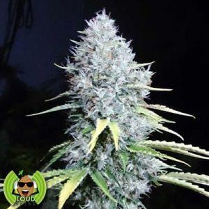 7 8 Sour Choice Loud Seeds1
