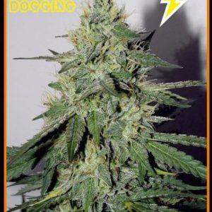 Mephisto-Genetics-Chemdogging-Autoflowering-Feminized-Seeds-2zlbx1u7vuvvw5owshtudm[1]