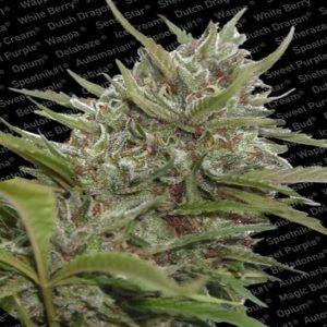 auto white berry paradise seeds1