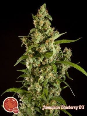 jamaican blueberry bx 158 1 1