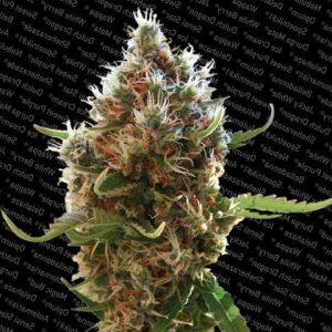 lucid bolt feminiseds seeds1