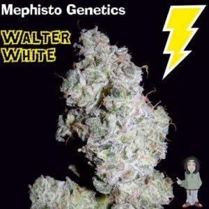 mephisto genetics walter white autoflowering feminised seeds 5001