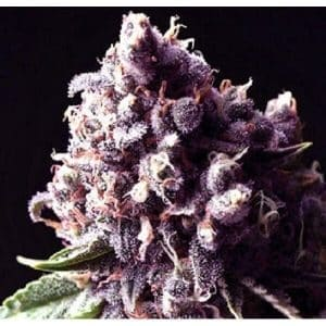 purple pinecone feminized1