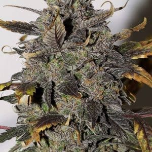 seedsman-reg_african_buzz_20[1]